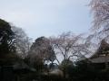 09-1)  17.03.30 鎌倉「安国論寺」 細身ながらも高木の古い桜が咲き揃った頃