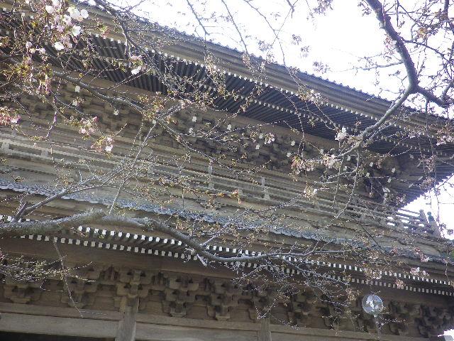 01)    17.03.30 鎌倉「光明寺」 山門周辺の桜