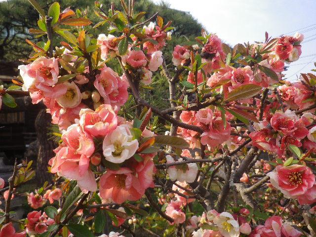 02-2)   17.03.30 鎌倉「九品寺」 未だかナ?まだかな?っと思っていたら、奥で咲き揃っていた木瓜。