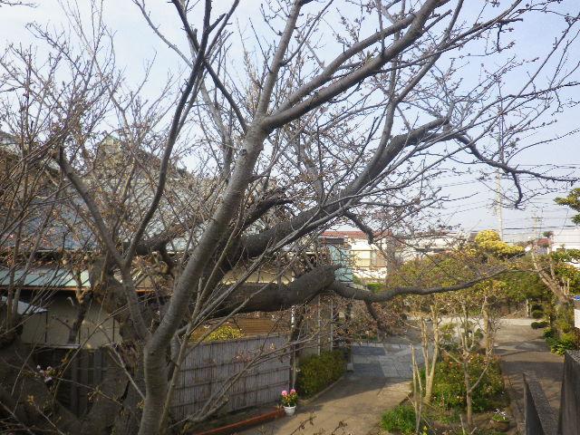 04-1)   これでも桜を撮ったつもり 17.03.30 鎌倉「九品寺」 未だかナ?まだかな?っと思っていたら、奥で咲き揃っていた木瓜。