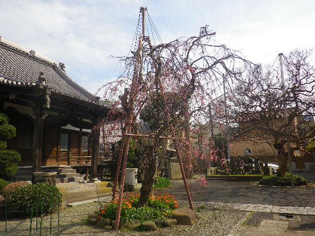 02-1)    17.04.02 鎌倉「本興寺」の枝垂れ桜