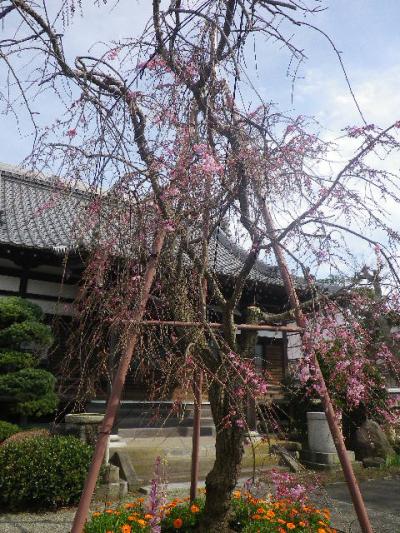 02-2)    17.04.02 鎌倉「本興寺」の枝垂れ桜