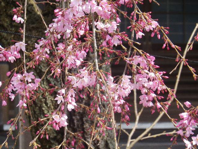 02-3)    17.04.02 鎌倉「本興寺」の枝垂れ桜