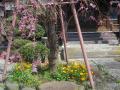 02-4)    17.04.02 鎌倉「本興寺」の枝垂れ桜
