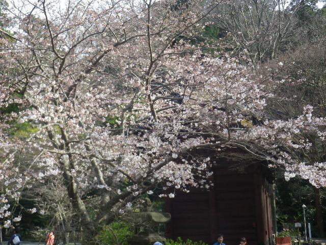 03)  ' 二天門 ' 左直近の桜   17.04.02 鎌倉「妙本寺」の桜