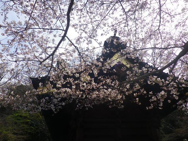 04)  ' 二天門 ' 左直近の桜   17.04.02 鎌倉「妙本寺」の桜