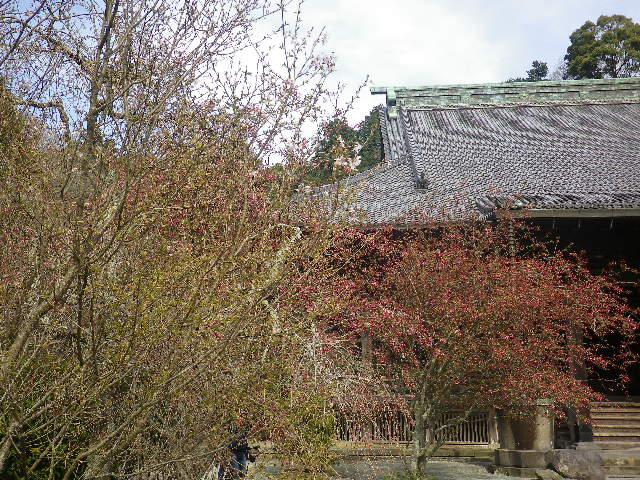 08-1)  手前の名を知らぬ桜と、奥の海棠。   17.04.02 鎌倉「妙本寺」の桜
