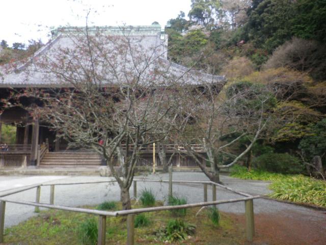 09-1) ' 祖師堂 ' 手前右側の海棠    17.04.02 鎌倉「妙本寺」の桜