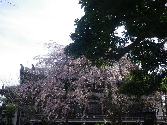 03-1)    17.04.02 鎌倉「本覚寺」の桜