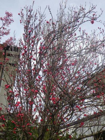 03-1)   17.04.02 鎌倉「向福寺」の桜