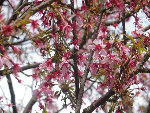 04-2)   17.04.02 鎌倉「向福寺」の桜