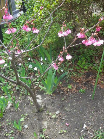 05)   17.04.02 鎌倉「向福寺」の桜