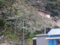 02-1)    17.04.02 鎌倉「私立 材木座幼稚園」の桜