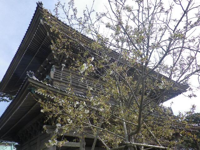 02-1)   17.04.02 鎌倉「光明寺」の桜