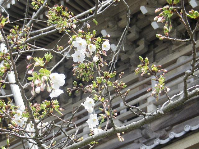 03-2)   17.04.02 鎌倉「光明寺」の桜