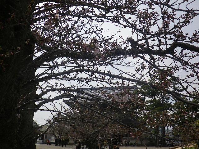05-1)   17.04.02 鎌倉「光明寺」の桜