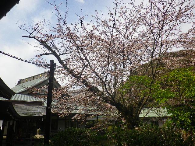 09)   17.04.02 鎌倉「光明寺」の桜