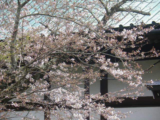 14-2)   17.04.02 鎌倉「光明寺」の桜