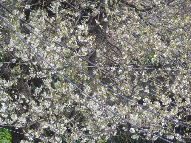 16-2)   17.04.02 鎌倉「光明寺」の桜