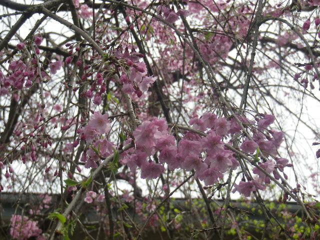 10-3) 枝垂れ桜 _ 17.04.10 鎌倉「長勝寺」 の桜