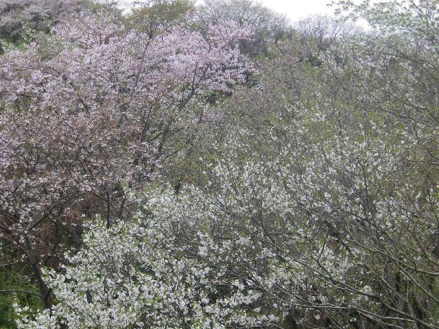 04-2)    17.04.10 通称 ' かまくら幼稚園うら ' からの桜 _ 鎌倉市浄明寺