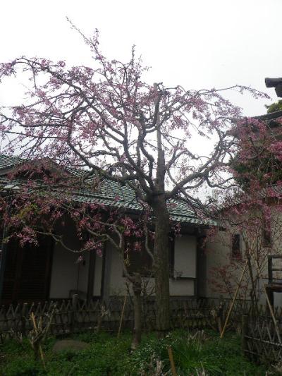 07)   17.04.10 鎌倉「妙隆寺」の桜