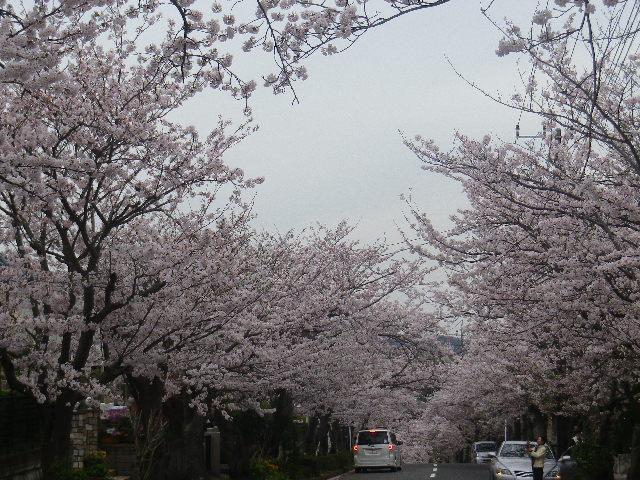 03-1)    17.04.10 「鎌倉逗子ハイランド(逗子ハイランド)」の桜