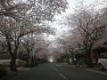 02)    17.04.10 「鎌倉逗子ハイランド(逗子ハイランド)」の桜