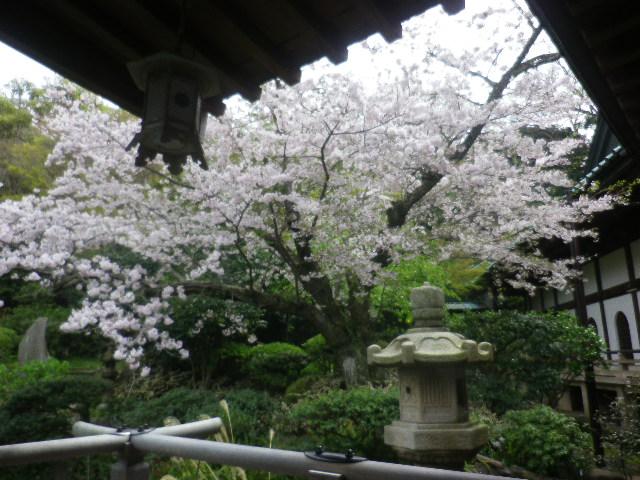 09-1)    17.04.10 鎌倉「光明寺」の桜