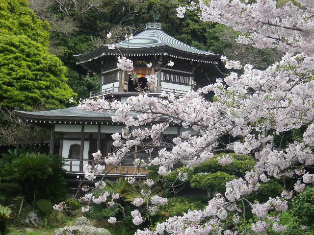10-1)    17.04.10 鎌倉「光明寺」の桜