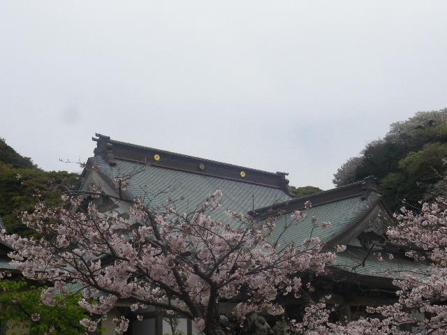 14)    17.04.10 鎌倉「光明寺」の桜
