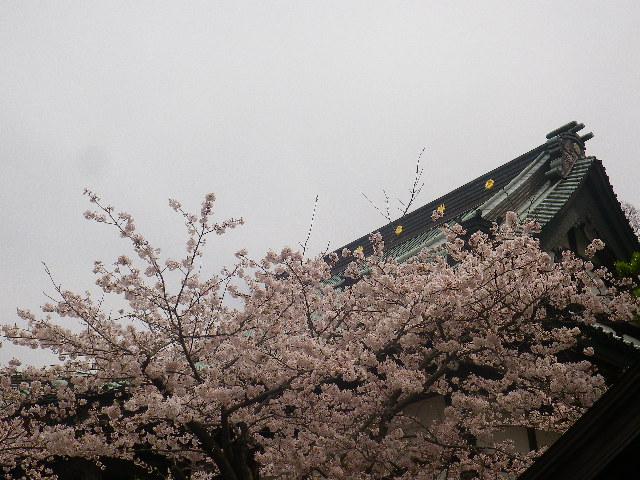 19) 鎌倉「光明寺」の桜