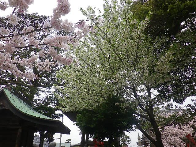 21-1)    17.04.10 鎌倉「光明寺」の桜