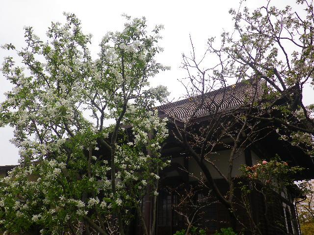 05) リュウキュウバイ   17.04.10 鎌倉「教恩寺」の桜 と リュウキュウバイ