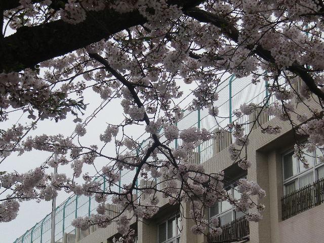 02-3)   17.04.10  ' 大蔵幕府跡 ' 周辺道路の桜 _ 鎌倉市雪ノ下