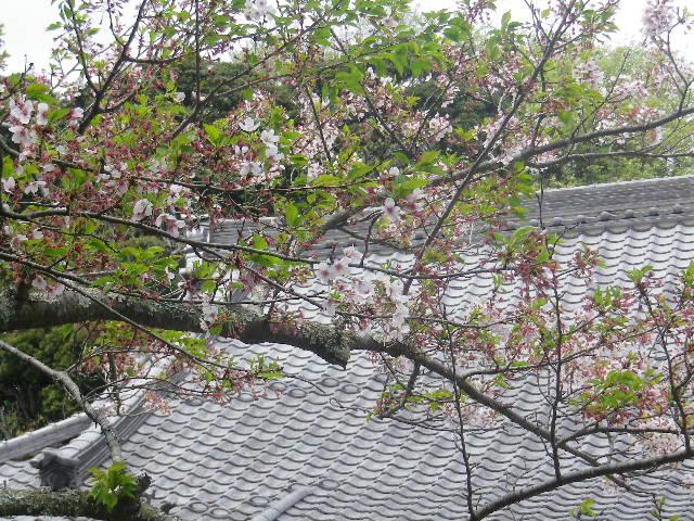 01-2)   17.04.16 鎌倉「浄光明寺」 桜の花びらが風に舞う日