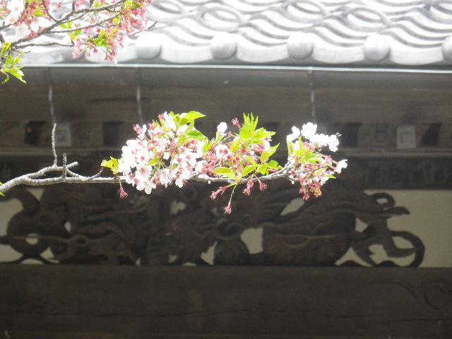 01-3)   17.04.16 鎌倉「浄光明寺」 桜の花びらが風に舞う日