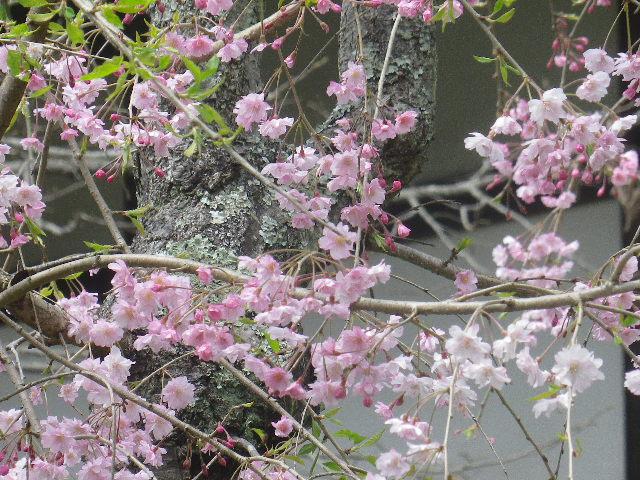 04-2)   17.04.16 鎌倉「浄光明寺」 桜の花びらが風に舞う日