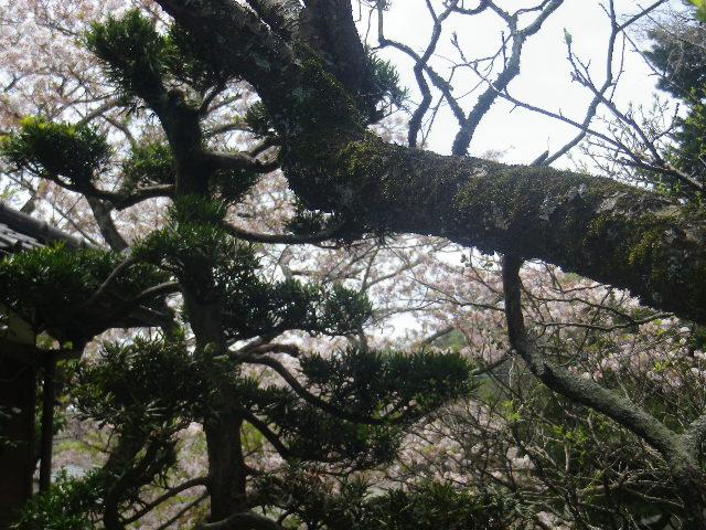 05)   17.04.16 鎌倉「浄光明寺」 桜の花びらが風に舞う日