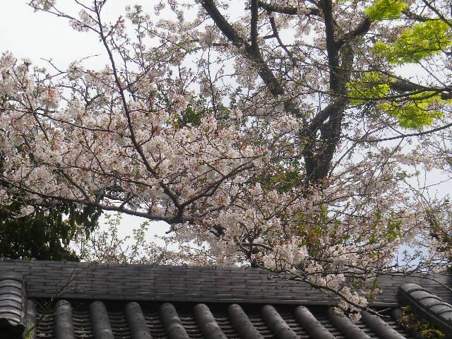 08-2)   17.04.16 鎌倉「浄光明寺」 桜の花びらが風に舞う日