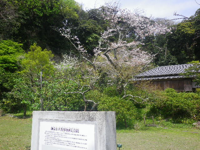 A00)    17.04.16 旧 川喜多邸の庭、桜の花びらが舞う日。