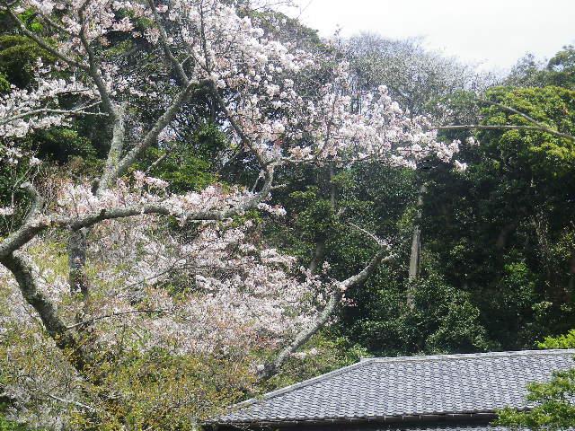 A02-1)   17.04.16 旧 川喜多邸の庭、桜の花びらが舞う日。