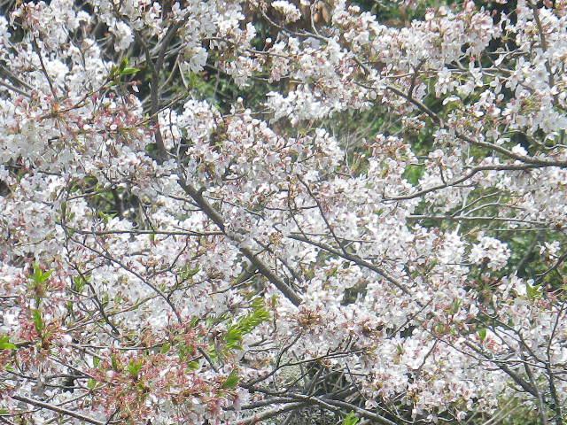 A02-2)   17.04.16 旧 川喜多邸の庭、桜の花びらが舞う日。