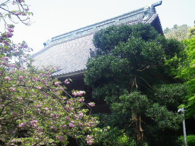 01-2)  八重桜  17.04.23 鎌倉「妙本寺」の八重桜、御衣黄(ギョイコウ)、シャガと新緑。