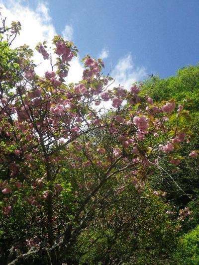03-2) 写真03-00)右奥の八重桜を前にまわって祖師堂方向から撮った   17.04.23 鎌倉「妙本寺」の八重桜、御衣黄(ギョイコウ)、シャガと新緑。
