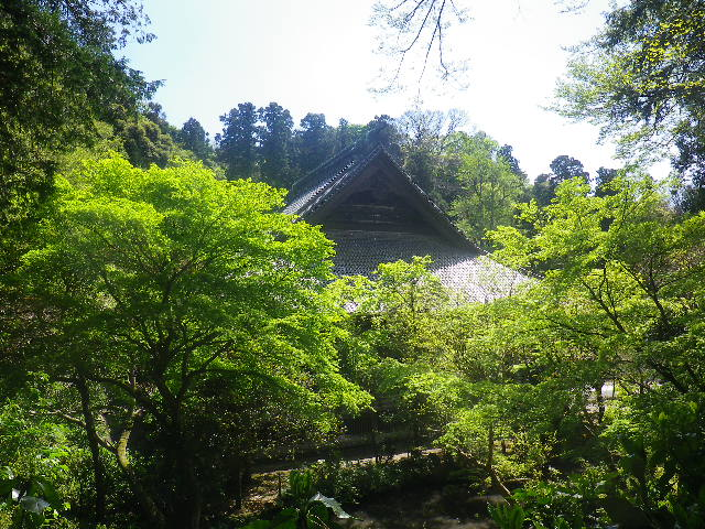 07)  ' 祇園山ハイキングコース ' へ少しだけ入った場所から祖師堂方向  17.04.23 鎌倉「妙本寺」の八重桜、御衣黄(ギョイコウ)、シャガと新緑。
