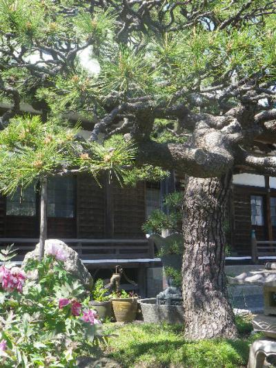 05-1)    17.04.23 鎌倉「九品寺」のナニワイバラ(難波茨)