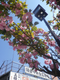 02)   17.04.23 鎌倉 ' 若宮大路 ' 沿いの八重桜