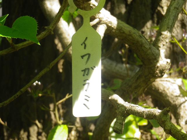 04-1) 夏の開花が楽しみな、イワガラミ。ここ以外では、「東慶寺」の崖に貼り付く有名なイワガラミしか知らない。  _ 17.04.23 鎌倉「大巧寺」 晩春の庭