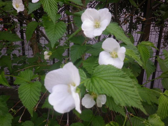 09-3) 白山吹 _ 17.04.23 鎌倉「大巧寺」 晩春の庭